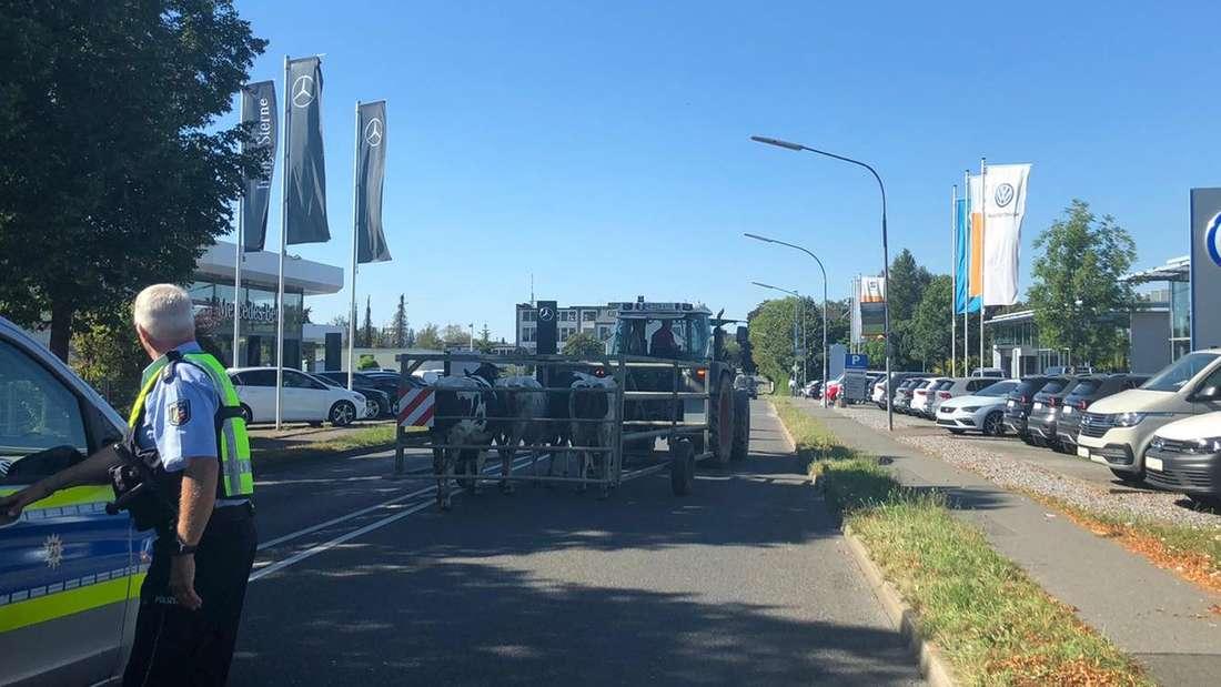 Abtransport der Kühe in Velbert mit einem Traktor und einem mobilen Gatter.