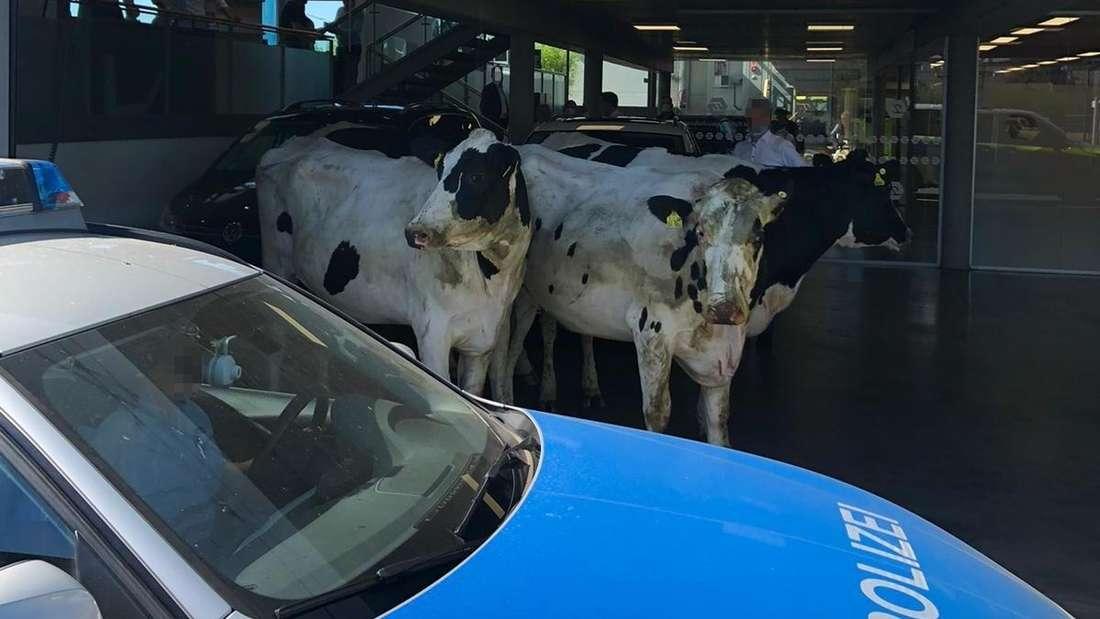 Kühe stehen in einem Audi-Autohaus in Velbert, die Polizei blockiert das Tor.