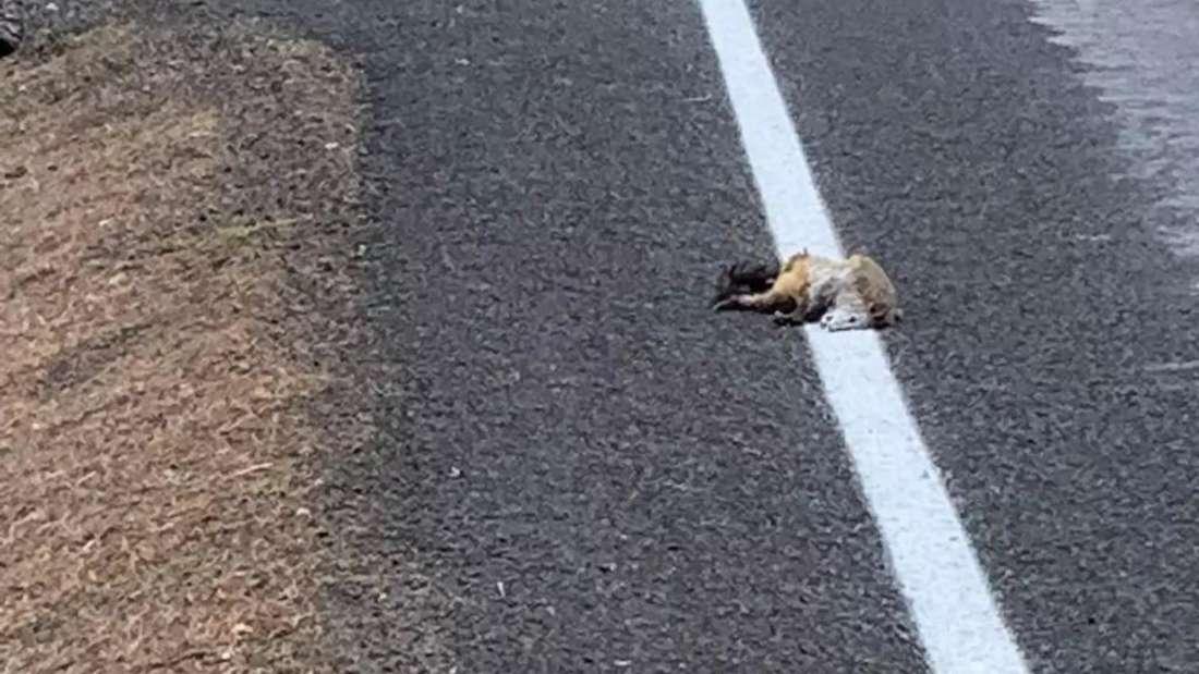 Der Kadaver eines toten Opossums liegt übermalt am Straßenrand.