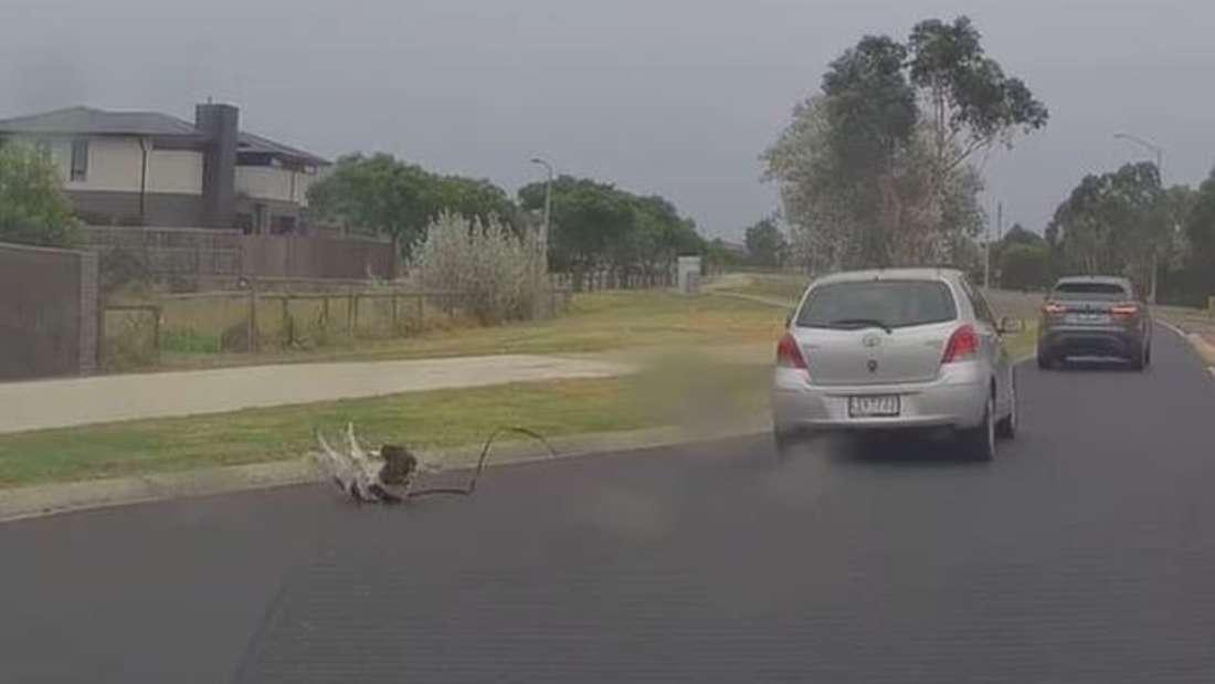 Ein Hund ist aus dem Fenster eines Toyota Yaris gestürzt, der durch einen Kreisverkehr fährt.