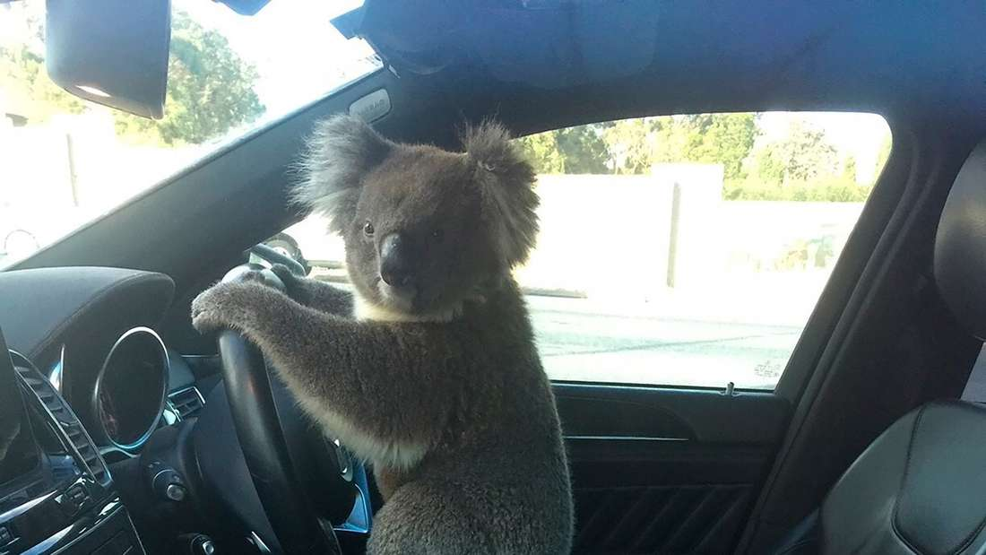 Ein Koala sitzt am Steuer eines Autos.