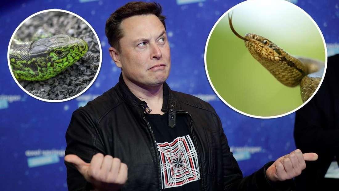 Tesla-Boss Elon Musk sowie links eine Zauneidechse und rechts eine Schlingnatter (Symbolbild)