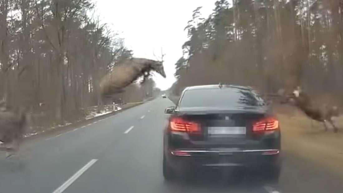 Über einen schwarzen BMW 5er springt ein Rudel Rotwild.