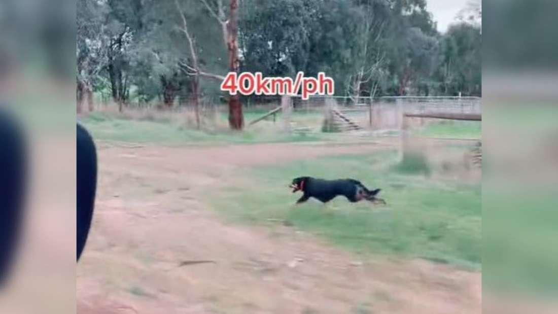 Ein Kelpie rennt fünf Kilometer mit 40 km/h neben einem Auto her.