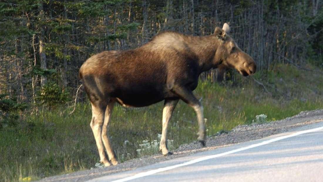 Ein ausgewachsener Elch läuft an einer Straße entlang. (Symbolbild)